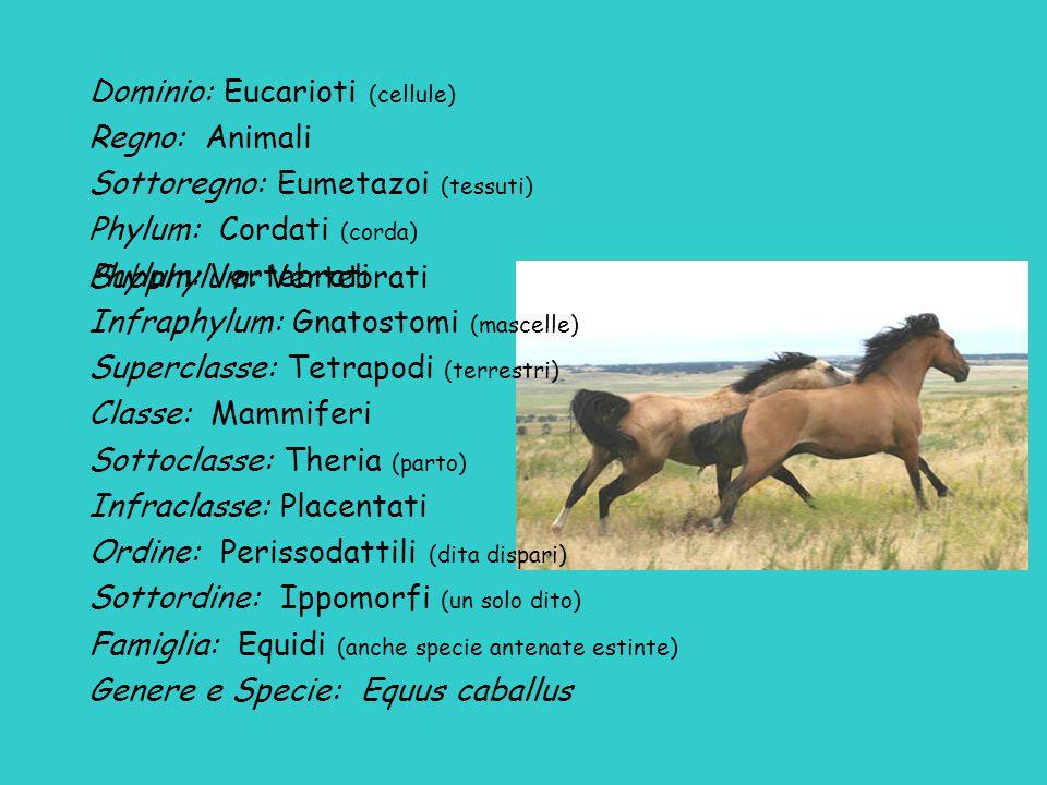 Dominio: Eucarioti (cellule) Regno: Animali Sottoregno: Eumetazoi (tessuti) Phylum: Cordati (corda) Phylum: Vertebrati Infraphylum: Gnatostomi (mascelle) Superclasse: Tetrapodi (terrestri) Classe: Mammiferi Sottoclasse: Theria (parto) Infraclasse: Placentati Ordine: Perissodattili (dita dispari) Sottordine: Ippomorfi (un solo dito) Famiglia: Equidi (anche specie antenate estinte) Genere e Specie: Equus caballus Subphylum: Vertebrati