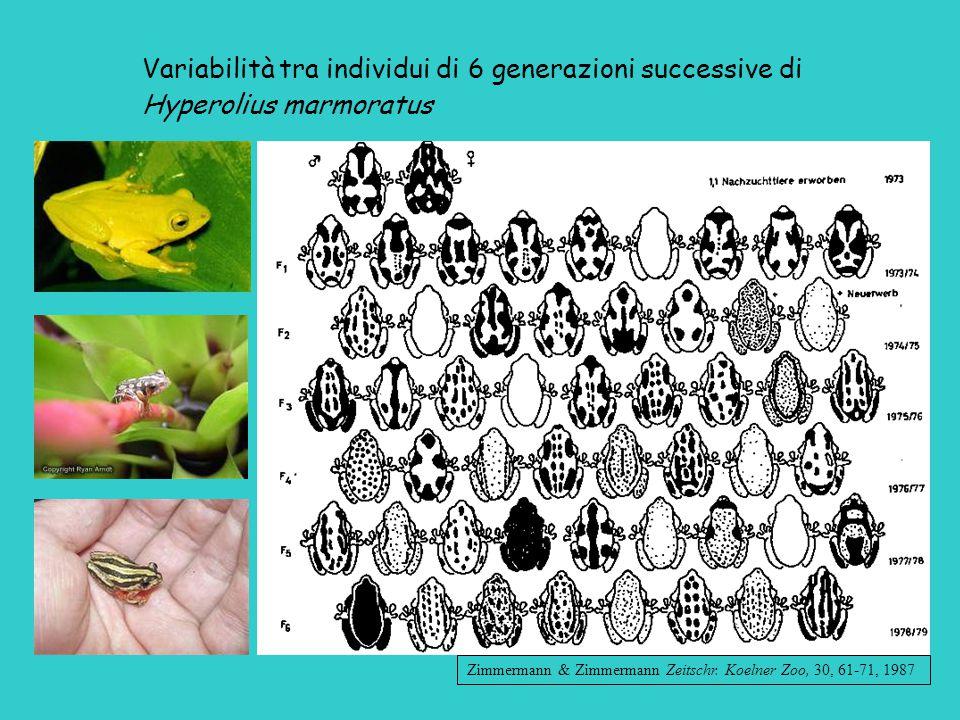 Variabilità tra individui di 6 generazioni successive di Hyperolius marmoratus Zimmermann & Zimmermann Zeitschr.