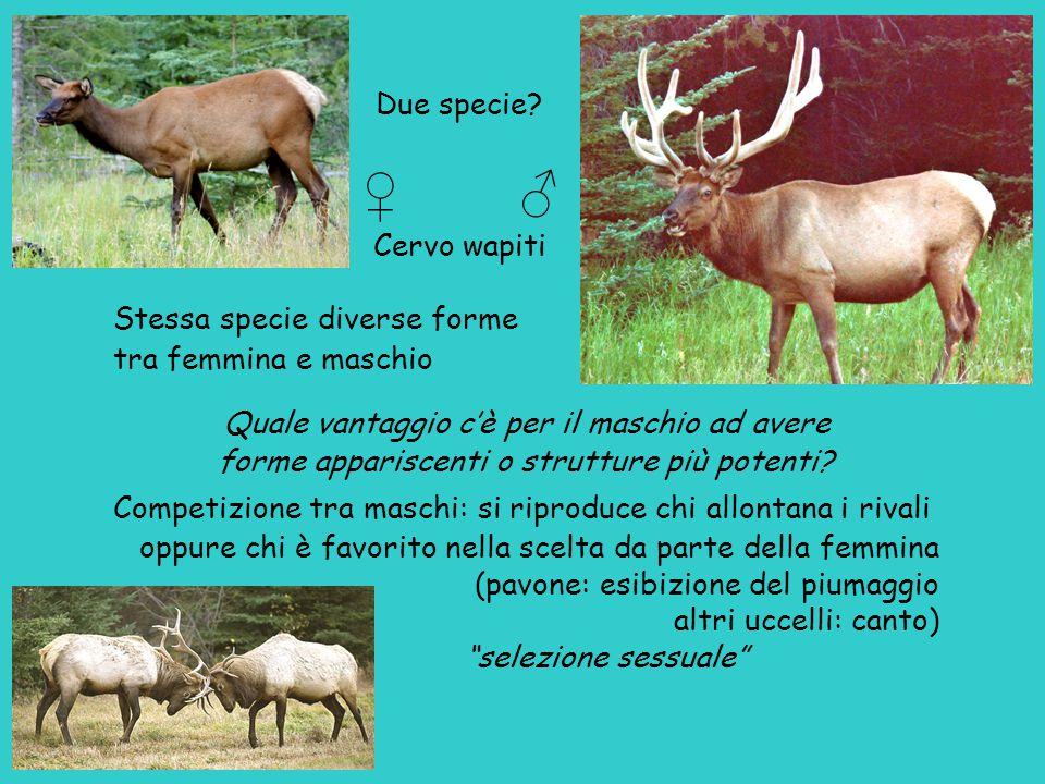 Due specie? ♀ ♂ Cervo wapiti Stessa specie diverse forme tra femmina e maschio Quale vantaggio c'è per il maschio ad avere forme appariscenti o strutt