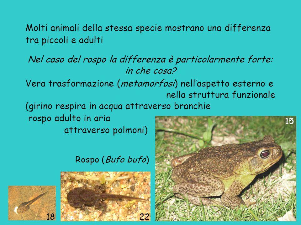 Rospo (Bufo bufo) 1822 15 Molti animali della stessa specie mostrano una differenza tra piccoli e adulti Nel caso del rospo la differenza è particolar