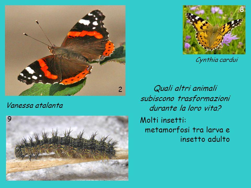 Cynthia cardui Vanessa atalanta 2 9 8 Quali altri animali subiscono trasformazioni durante la loro vita? Molti insetti: metamorfosi tra larva e insett