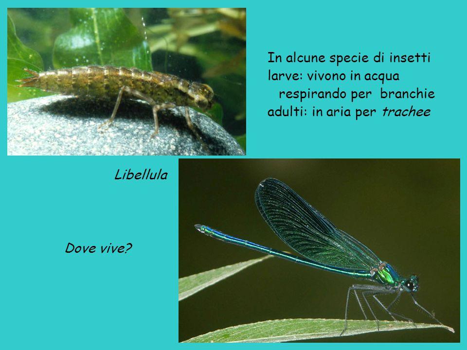 Libellula Dove vive? In alcune specie di insetti larve: vivono in acqua respirando per branchie adulti: in aria per trachee