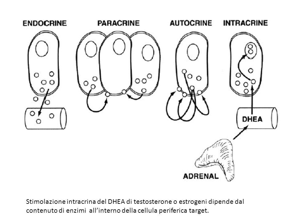 Stimolazione intracrina del DHEA di testosterone o estrogeni dipende dal contenuto di enzimi all'interno della cellula periferica target.