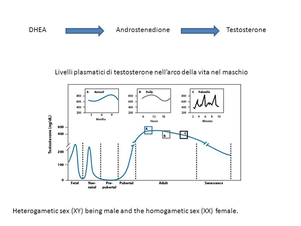 DHEAAndrostenedioneTestosterone Livelli plasmatici di testosterone nell'arco della vita nel maschio Heterogametic sex (XY) being male and the homogame