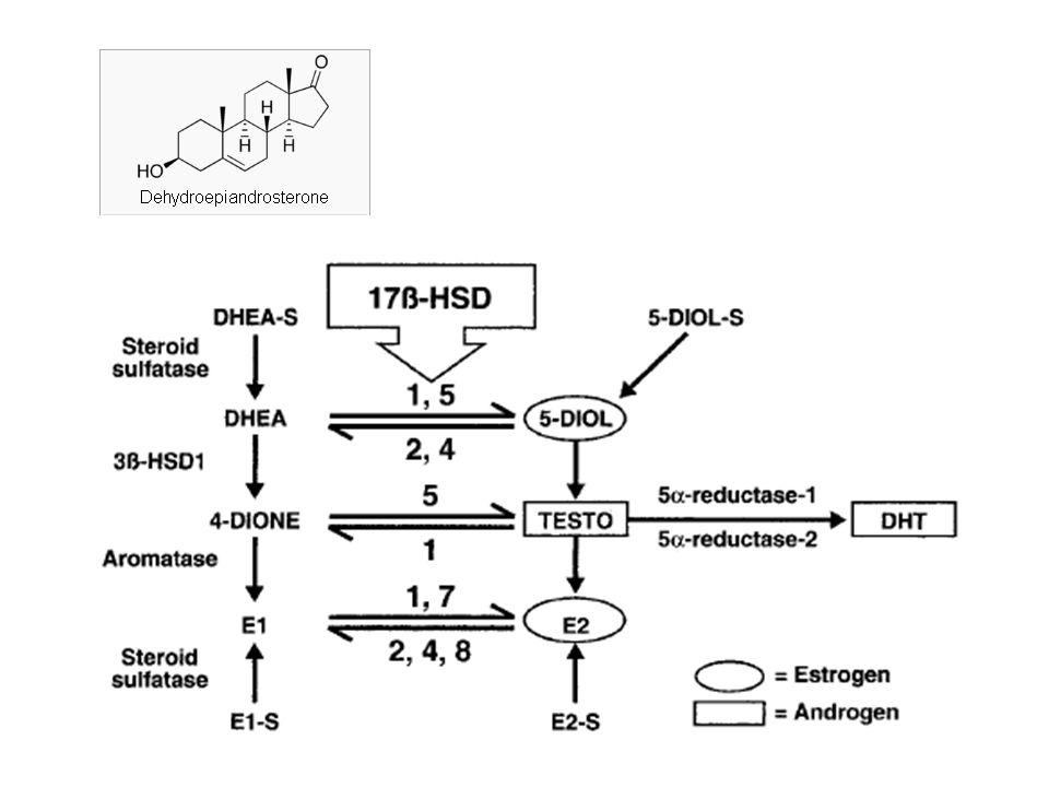 E' largamente accettato che il DHT sia necessario per l'espressione dell'azione androgenica nelle ghiandole sessuali accessorie incluso la prostata.