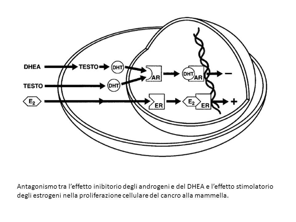 Antagonismo tra l'effetto inibitorio degli androgeni e del DHEA e l'effetto stimolatorio degli estrogeni nella proliferazione cellulare del cancro all