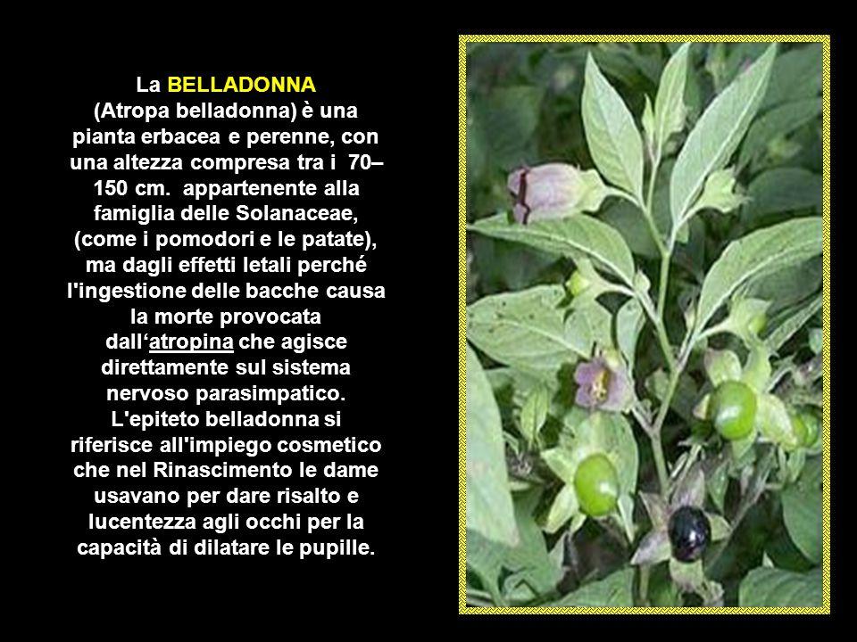 I frutti di mancinella sono velenosi e la loro ingestione causa un forte gonfiore alla gola, problemi respiratori e gastrointestinali. La tossina, den