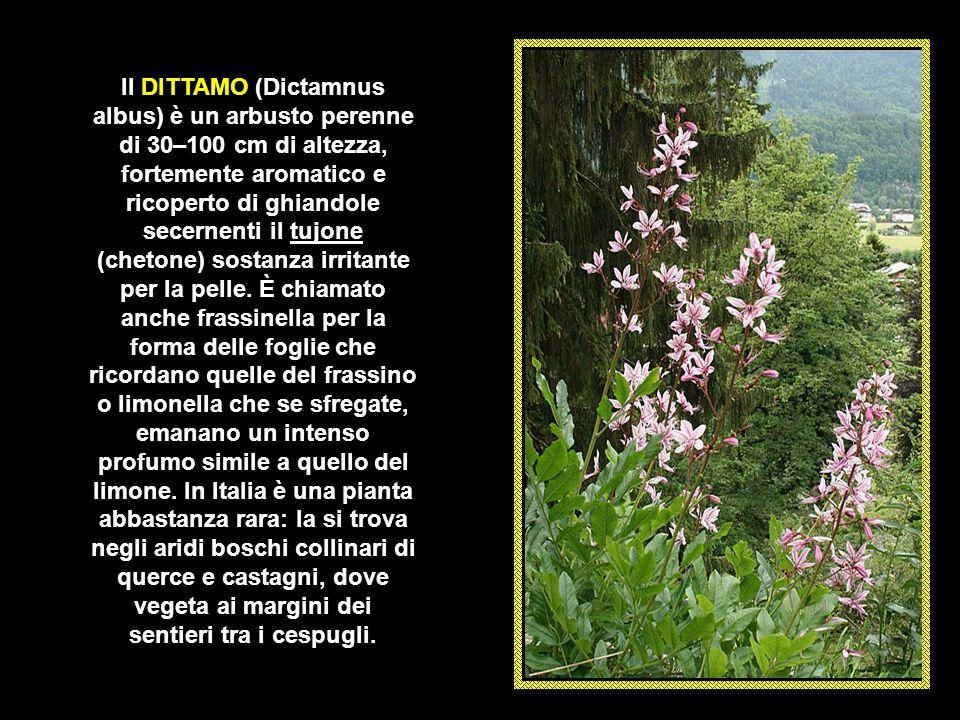 La BELLADONNA (Atropa belladonna) è una pianta erbacea e perenne, con una altezza compresa tra i 70– 150 cm. appartenente alla famiglia delle Solanace