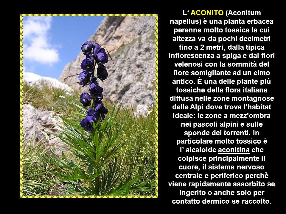 Il DITTAMO (Dictamnus albus) è un arbusto perenne di 30–100 cm di altezza, fortemente aromatico e ricoperto di ghiandole secernenti il tujone (chetone