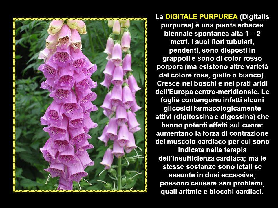 La CALTA PALUSTRE (Caltha palustris) è una piccola pianta erbacea perenne, amante degli ambienti umidi, alta fino a 50 centimetri dai fiori giallo int