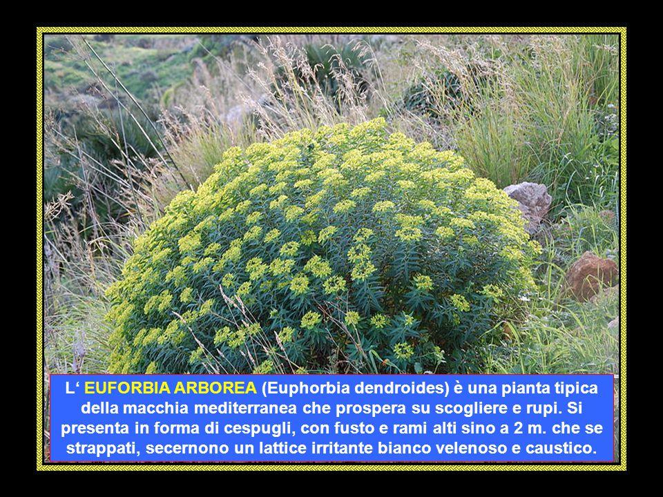 La DIGITALE PURPUREA (Digitalis purpurea) è una pianta erbacea biennale spontanea alta 1 – 2 metri. I suoi fiori tubulari, pendenti, sono disposti in
