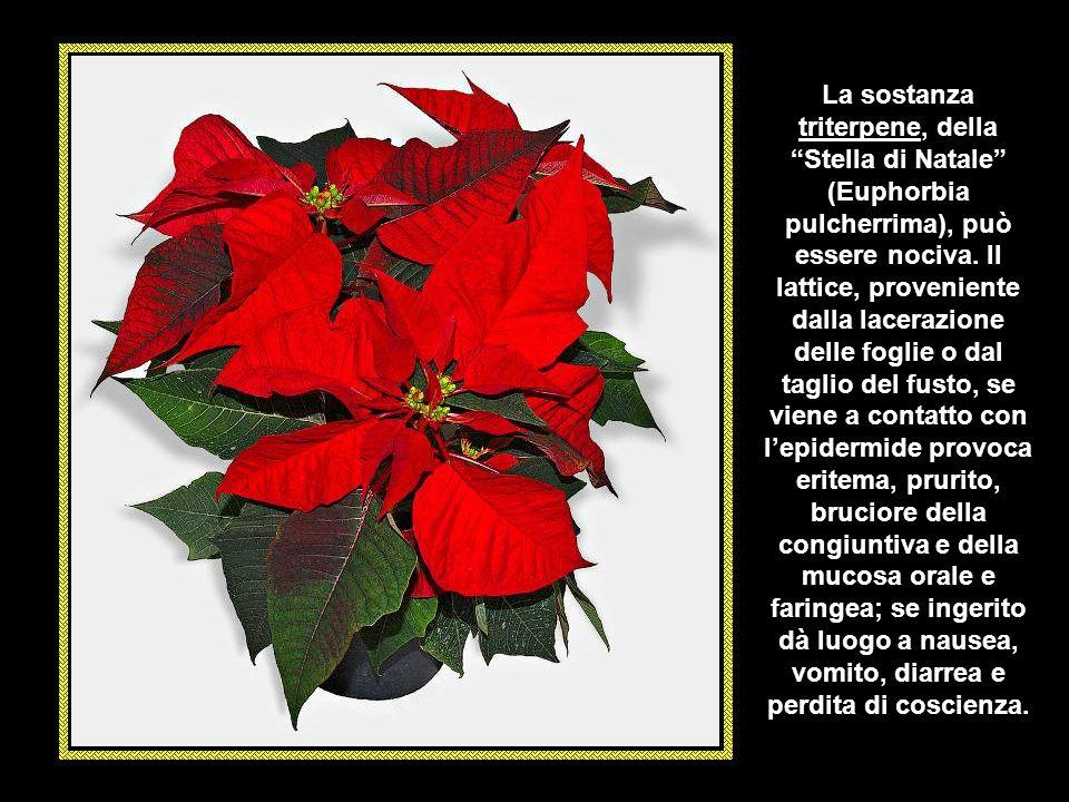 L' EUFORBIA ARBOREA (Euphorbia dendroides) è una pianta tipica della macchia mediterranea che prospera su scogliere e rupi. Si presenta in forma di ce