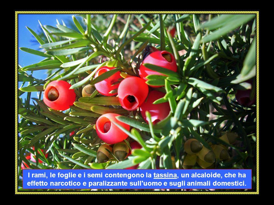 L' EDERA (Hedera helix) è un rampicante perenne sempreverde,con fusti legnosi che aderiscono a qualsiasi supporto. Tutta la pianta è velenosa. Per con