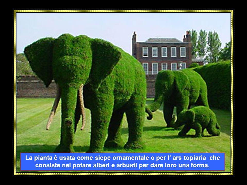 Il TASSO (Taxus baccata) è una pianta sempreverde alta tra i 10 e i 20 metri appartenente alla famiglia delle conifere e per i suoi semi velenosi, è c