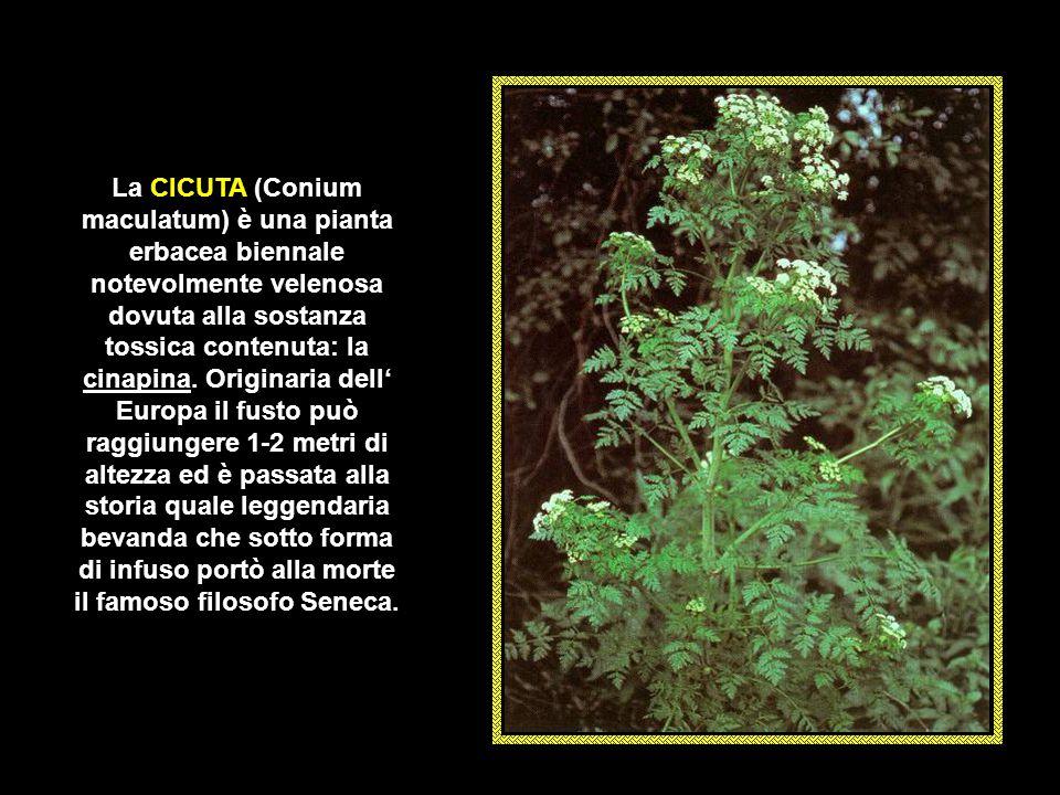 L' OLEANDRO (Nerium oleander) naturalizzato e spontaneo nelle regioni mediterranee è un arbusto sempreverde con portamento cespuglioso per natura, ma