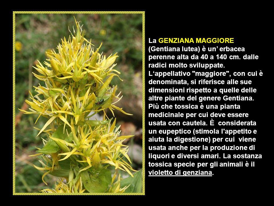 Il COLCHICO AUTUNNALE (Colchicum autumnale) è una piccola pianta erbacea perenne, bulbosa la cui altezza varia da 5 a 40 cm. facilmente individuabile