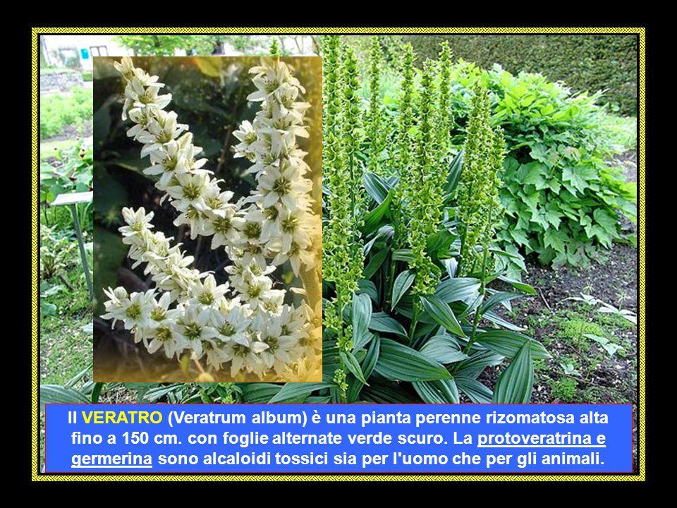 La GENZIANA MAGGIORE (Gentiana lutea) è un' erbacea perenne alta da 40 a 140 cm. dalle radici molto sviluppate. L'appellativo