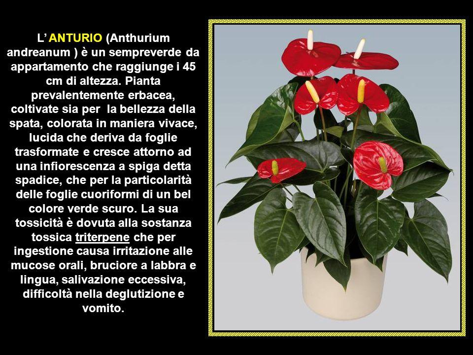 Il VERATRO (Veratrum album) è una pianta perenne rizomatosa alta fino a 150 cm. con foglie alternate verde scuro. La protoveratrina e germerina sono a