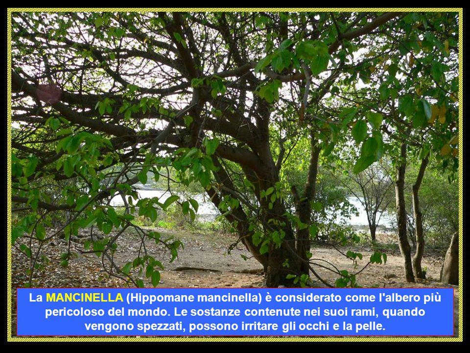 L' ANTURIO (Anthurium andreanum ) è un sempreverde da appartamento che raggiunge i 45 cm di altezza. Pianta prevalentemente erbacea, coltivate sia per