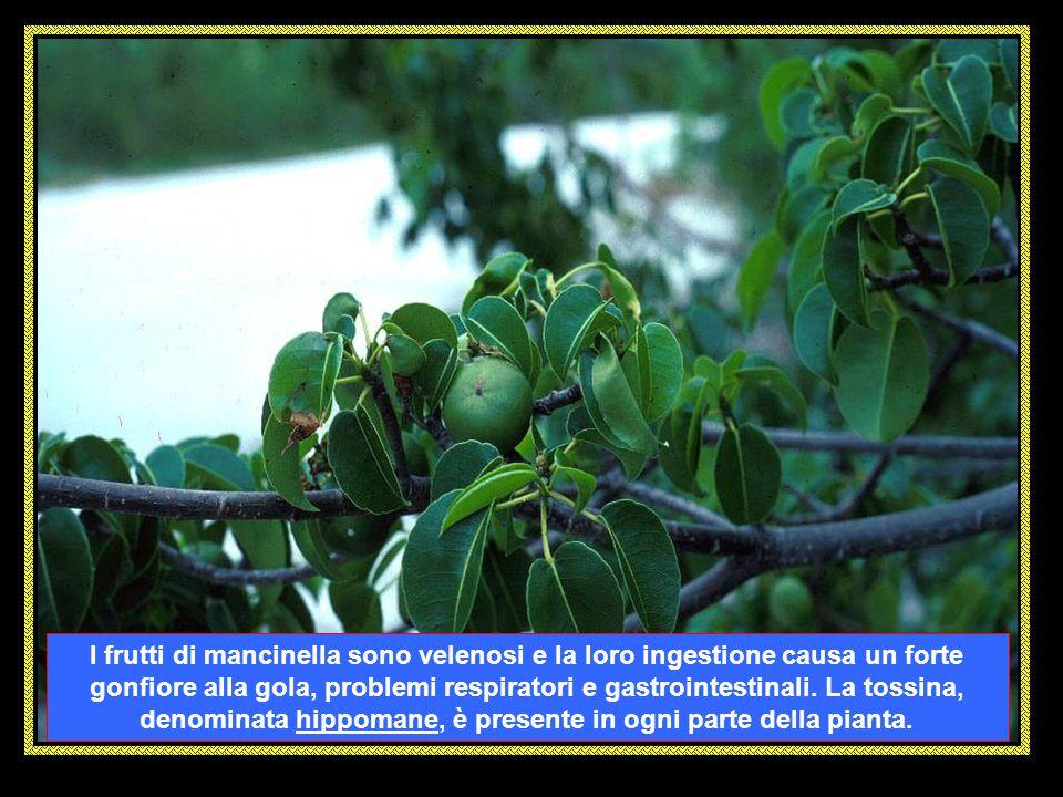 La MANCINELLA (Hippomane mancinella) è considerato come l'albero più pericoloso del mondo. Le sostanze contenute nei suoi rami, quando vengono spezzat