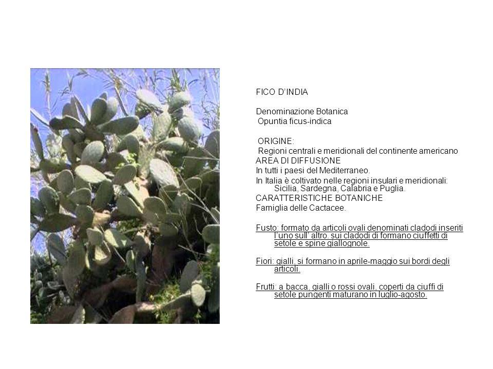 FICO D'INDIA Denominazione Botanica Opuntia ficus-indica ORIGINE: Regioni centrali e meridionali del continente americano AREA DI DIFFUSIONE In tutti