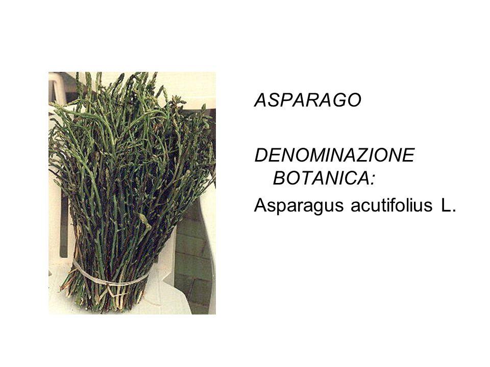 ASPARAGO DENOMINAZIONE BOTANICA: Asparagus acutifolius L.