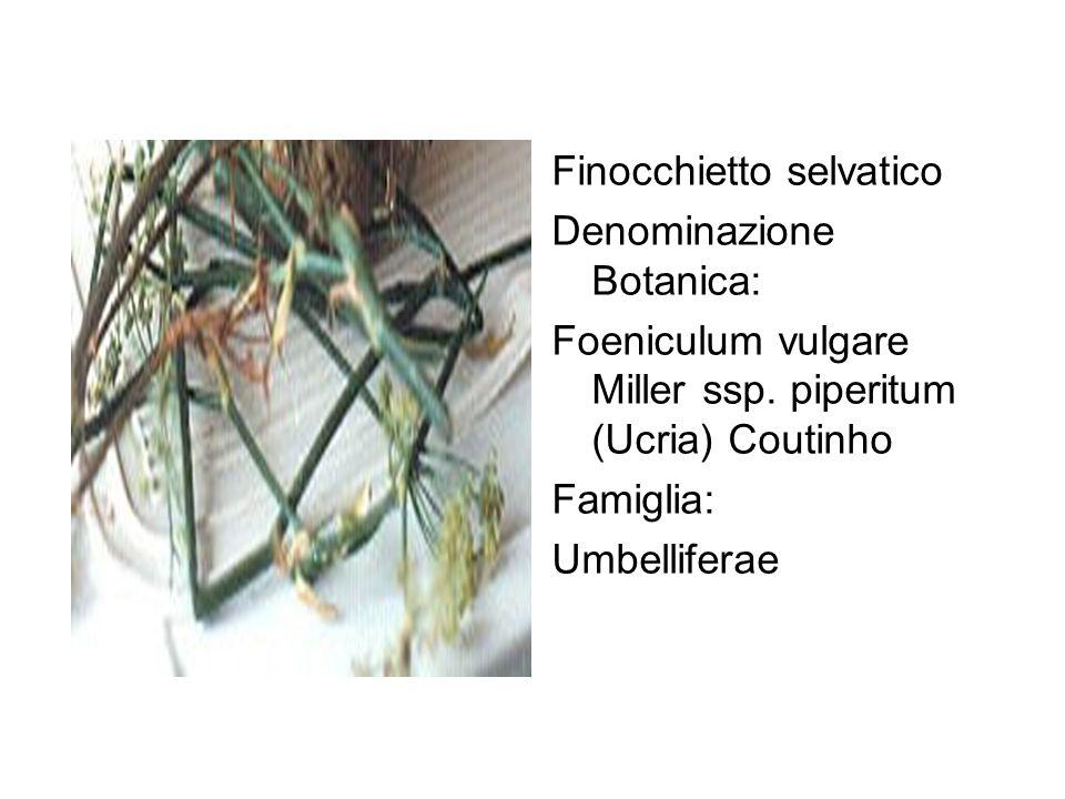 Finocchietto selvatico Denominazione Botanica: Foeniculum vulgare Miller ssp. piperitum (Ucria) Coutinho Famiglia: Umbelliferae