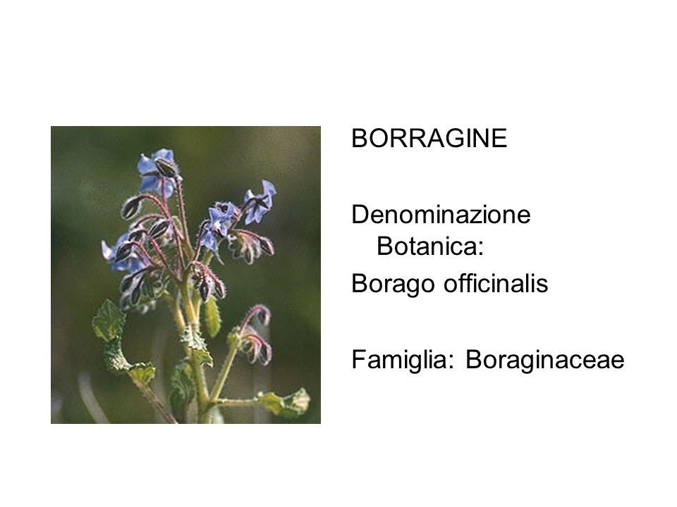 BORRAGINE Denominazione Botanica: Borago officinalis Famiglia: Boraginaceae