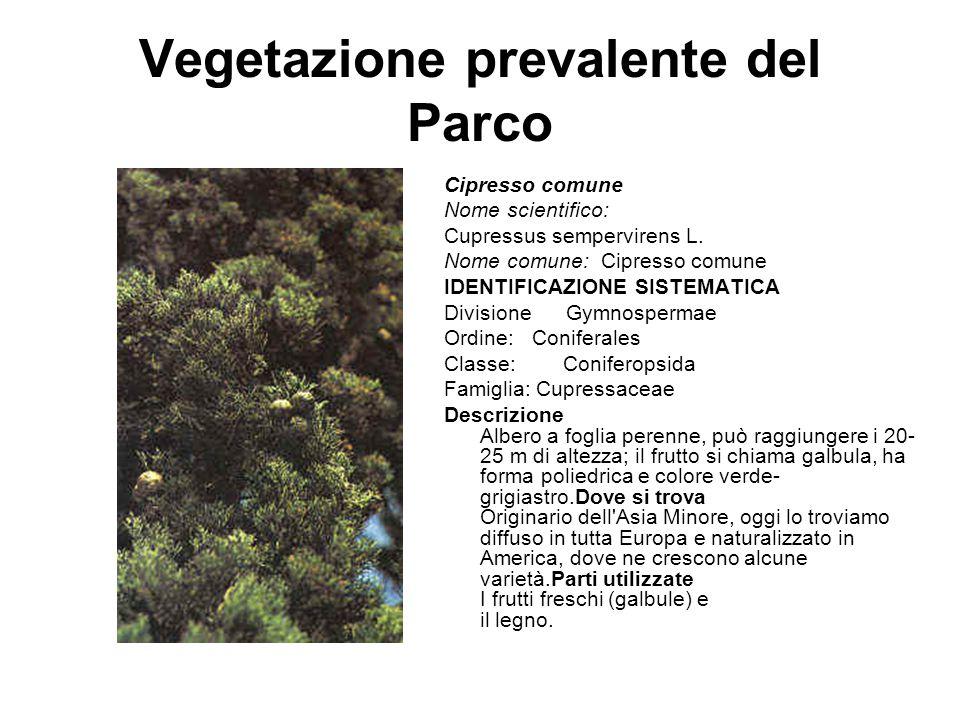 Vegetazione prevalente del Parco Cipresso comune Nome scientifico: Cupressus sempervirens L. Nome comune: Cipresso comune IDENTIFICAZIONE SISTEMATICA
