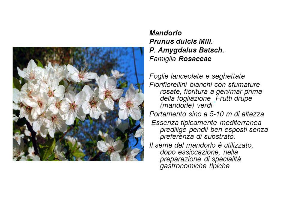 Mandorlo Prunus dulcis Mill. P. Amygdalus Batsch. Famiglia Rosaceae Foglie lanceolate e seghettate Fiorifiorellini bianchi con sfumature rosate, fiori