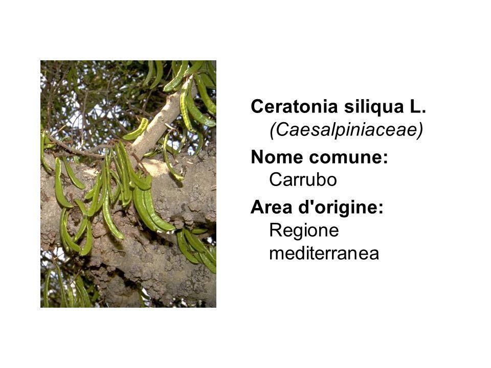 Ceratonia siliqua L. (Caesalpiniaceae) Nome comune: Carrubo Area d'origine: Regione mediterranea