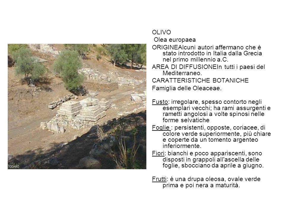 OLIVO Olea europaea ORIGINEAlcuni autori affermano che è stato introdotto in Italia dalla Grecia nel primo millennio a.C. AREA DI DIFFUSIONEIn tutti i