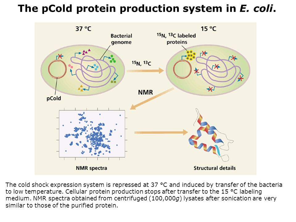 The cold shock expression system is repressed at 37 °C and induced by transfer of the bacteria to low temperature. Cellular protein production stops a