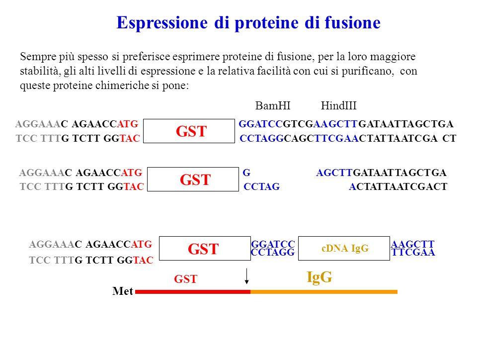 Espressione di proteine di fusione Sempre più spesso si preferisce esprimere proteine di fusione, per la loro maggiore stabilità, gli alti livelli di espressione e la relativa facilità con cui si purificano, con queste proteine chimeriche si pone: AGGAAAC AGAACCATG GGATCCGTCGAAGCTTGATAATTAGCTGA TCC TTTG TCTT GGTAC CCTAGGCAGCTTCGAACTATTAATCGA CT GST BamHIHindIII AGGAAAC AGAACCATG G AGCTTGATAATTAGCTGA TCC TTTG TCTT GGTAC CCTAG ACTATTAATCGACT GST AGGAAAC AGAACCATG TCC TTTG TCTT GGTAC GST GGATCC CCTAGG cDNA IgG AAGCTT TTCGAA Met GST IgG
