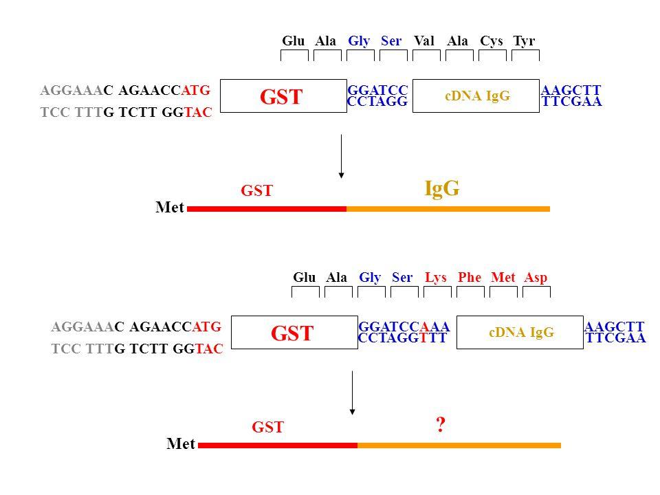 Met GST IgG AGGAAAC AGAACCATG TCC TTTG TCTT GGTAC GST GGATCC CCTAGG cDNA IgG AAGCTT TTCGAA GlySerGluAlaCysTyrValAla Met GST .