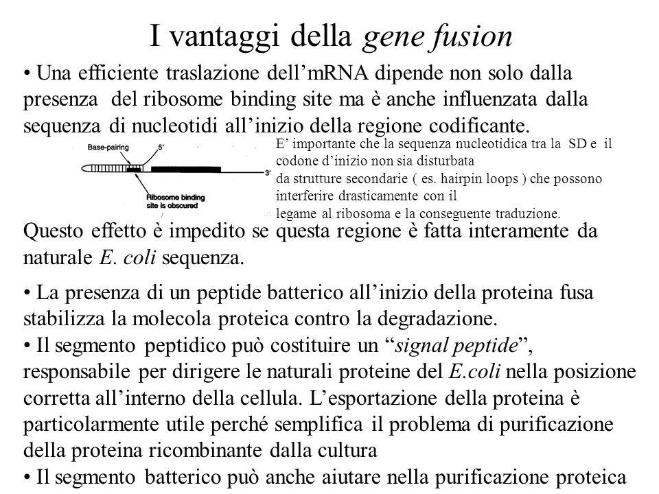 I vantaggi della gene fusion Una efficiente traslazione dell'mRNA dipende non solo dalla presenza del ribosome binding site ma è anche influenzata dalla sequenza di nucleotidi all'inizio della regione codificante.