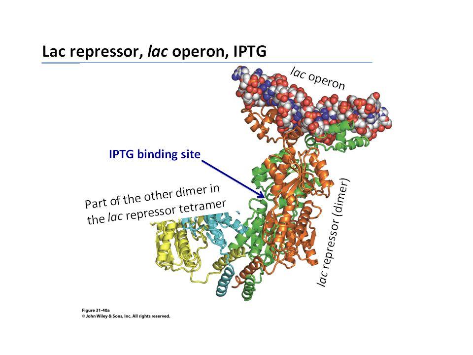 SISTEMA pBAD AraBAD = operone che codifica tre geni A, B, D e convertono arabinosio in xilulosio-5-P AraC proteina regola 1) l'operone araBAD attivandolo o disattivandolo, 2) la propria sintesi legandosi quando c'è alta la sua concentrazione al sito operatore O1 e reprimendo in al modo la sua trascrizione Geni coinvolti nel metabolismo del'arabinosio Sistema che attiva la trascrizione di pBAD Sistema che reprime la trascrizione di pAraC AraC