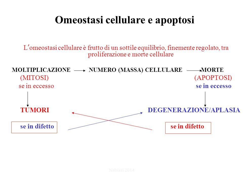 Omeostasi cellulare e apoptosi L'omeostasi cellulare è frutto di un sottile equilibrio, finemente regolato, tra proliferazione e morte cellulare MOLTIPLICAZIONE NUMERO (MASSA) CELLULARE MORTE (MITOSI) (APOPTOSI) se in eccesso se in eccesso TUMORI DEGENERAZIONE/APLASIA se in difetto se in difetto Nabissi 2014