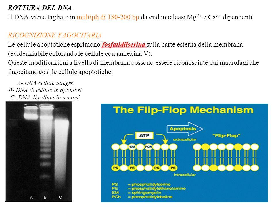 ROTTURA DEL DNA Il DNA viene tagliato in multipli di 180-200 bp da endonucleasi Mg 2+ e Ca 2+ dipendenti RICOGNIZIONE FAGOCITARIA fosfatidilserina Le cellule apoptotiche esprimono fosfatidilserina sulla parte esterna della membrana (evidenziabile colorando le cellule con annexina V).