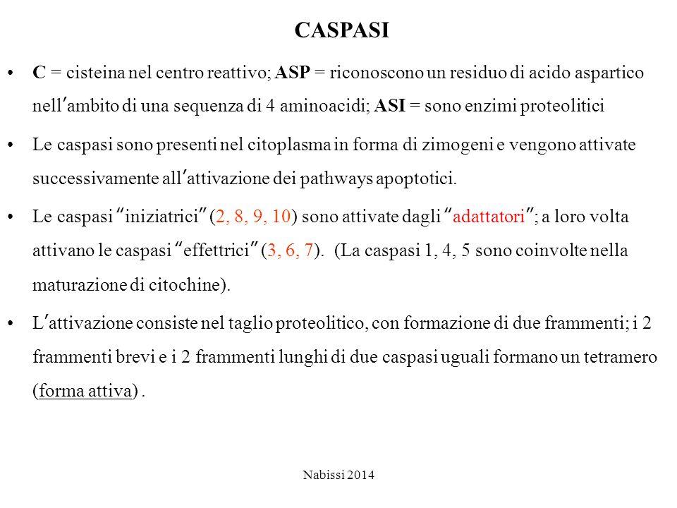 CASPASI C = cisteina nel centro reattivo; ASP = riconoscono un residuo di acido aspartico nell'ambito di una sequenza di 4 aminoacidi; ASI = sono enzimi proteolitici Le caspasi sono presenti nel citoplasma in forma di zimogeni e vengono attivate successivamente all'attivazione dei pathways apoptotici.