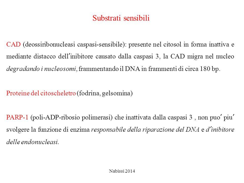 Substrati sensibili CAD (deossiribonucleasi caspasi-sensibile): presente nel citosol in forma inattiva e mediante distacco dell'inibitore causato dalla caspasi 3, la CAD migra nel nucleo degradando i nucleosomi, frammentando il DNA in frammenti di circa 180 bp.