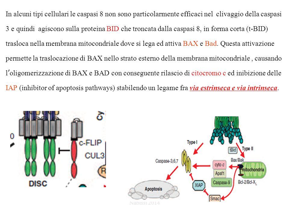 In alcuni tipi cellulari le caspasi 8 non sono particolarmente efficaci nel clivaggio della caspasi 3 e quindi agiscono sulla proteina BID che troncata dalla caspasi 8, in forma corta (t-BID) trasloca nella membrana mitocondriale dove si lega ed attiva BAX e Bad.