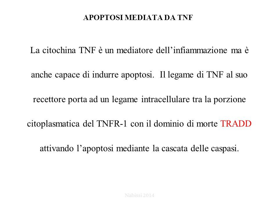 APOPTOSI MEDIATA DA TNF La citochina TNF è un mediatore dell'infiammazione ma è anche capace di indurre apoptosi.