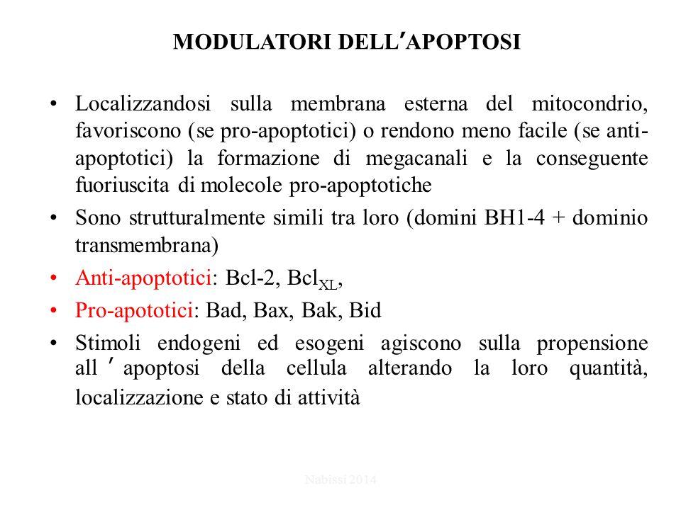 MODULATORI DELL'APOPTOSI Localizzandosi sulla membrana esterna del mitocondrio, favoriscono (se pro-apoptotici) o rendono meno facile (se anti- apoptotici) la formazione di megacanali e la conseguente fuoriuscita di molecole pro-apoptotiche Sono strutturalmente simili tra loro (domini BH1-4 + dominio transmembrana) Anti-apoptotici: Bcl-2, Bcl XL, Pro-apototici: Bad, Bax, Bak, Bid Stimoli endogeni ed esogeni agiscono sulla propensione all'apoptosi della cellula alterando la loro quantità, localizzazione e stato di attività Nabissi 2014