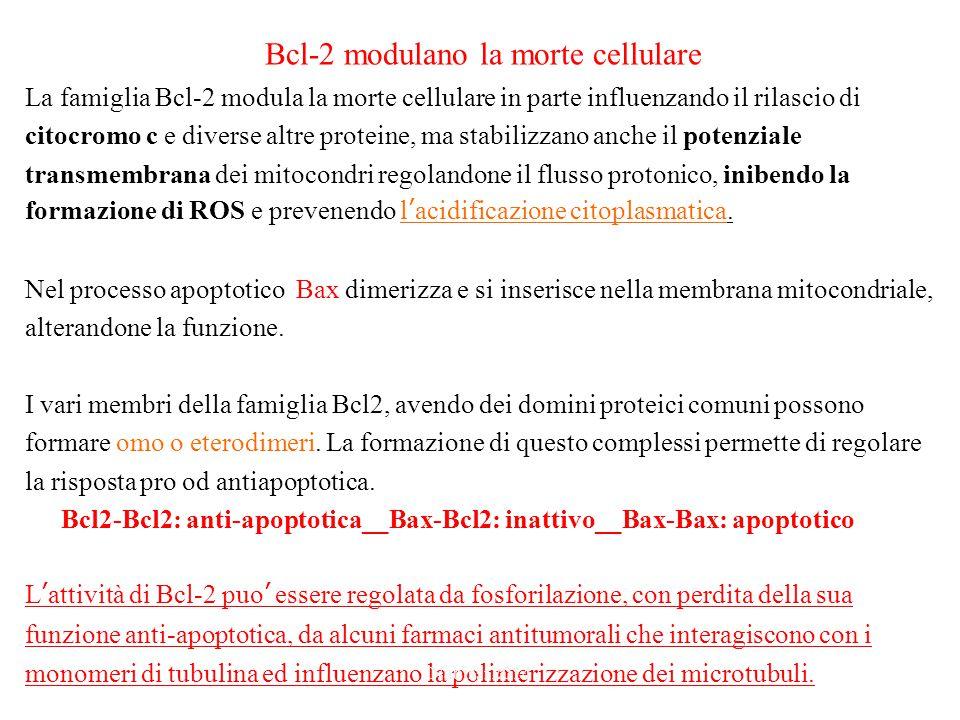 Bcl-2 modulano la morte cellulare La famiglia Bcl-2 modula la morte cellulare in parte influenzando il rilascio di citocromo c e diverse altre proteine, ma stabilizzano anche il potenziale transmembrana dei mitocondri regolandone il flusso protonico, inibendo la formazione di ROS e prevenendo l'acidificazione citoplasmatica.