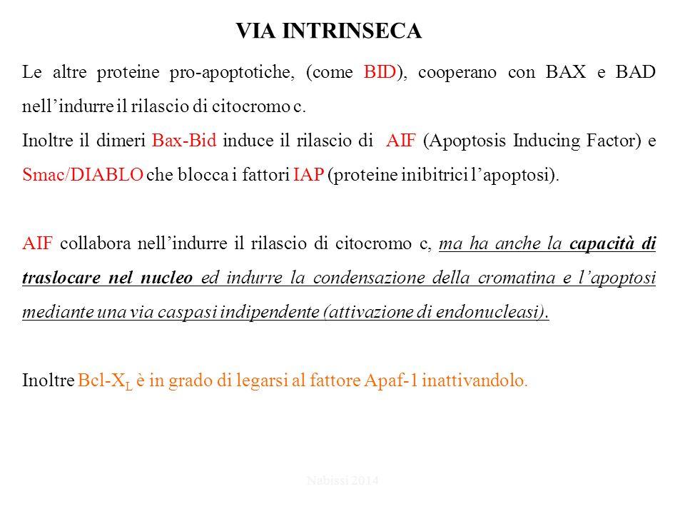 Le altre proteine pro-apoptotiche, (come BID), cooperano con BAX e BAD nell'indurre il rilascio di citocromo c.