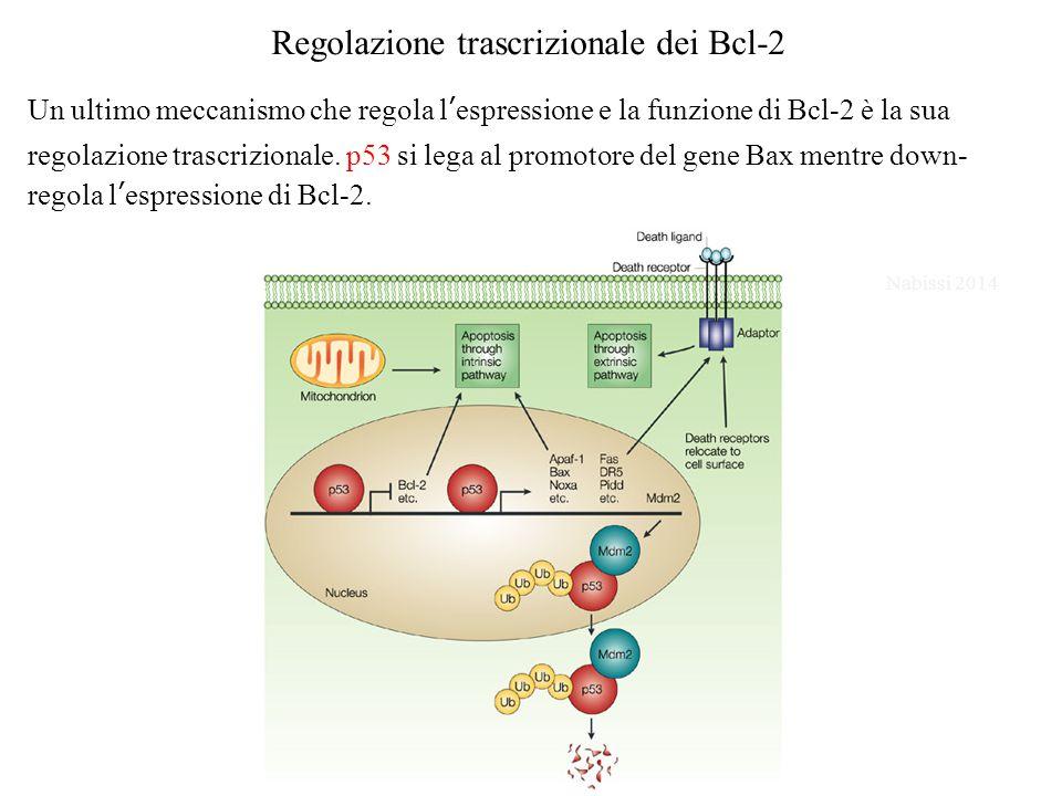 Regolazione trascrizionale dei Bcl-2 Un ultimo meccanismo che regola l'espressione e la funzione di Bcl-2 è la sua regolazione trascrizionale.