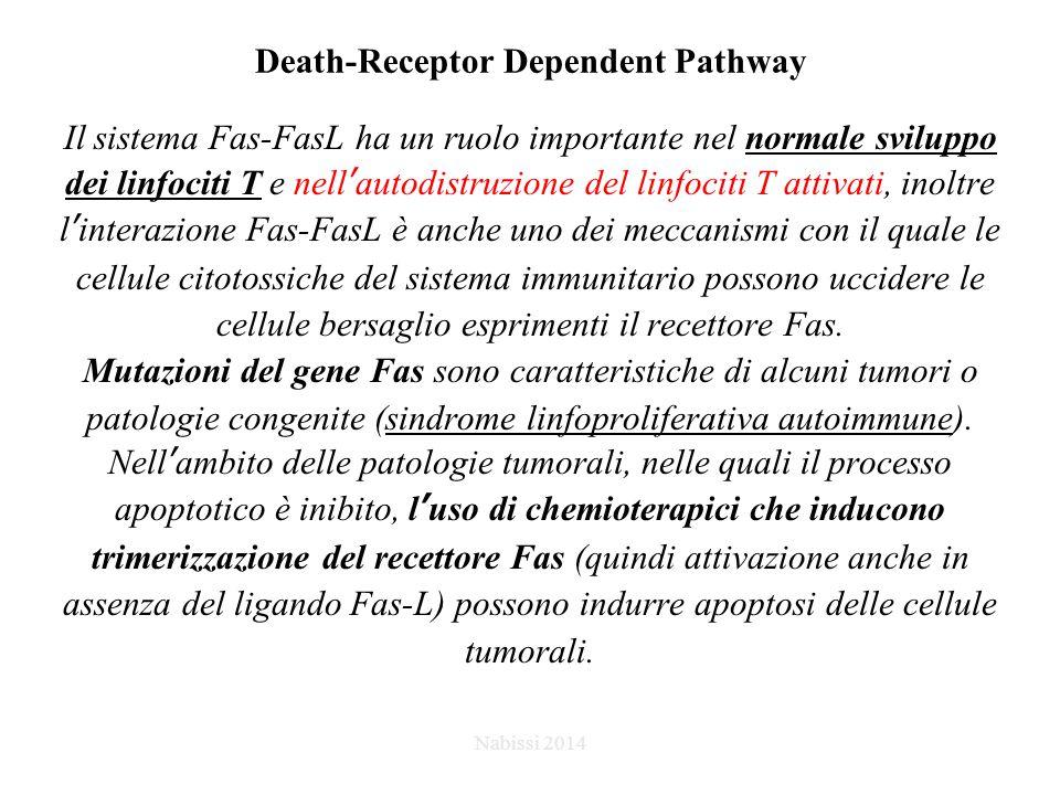 Death-Receptor Dependent Pathway Il sistema Fas-FasL ha un ruolo importante nel normale sviluppo dei linfociti T e nell'autodistruzione del linfociti T attivati, inoltre l'interazione Fas-FasL è anche uno dei meccanismi con il quale le cellule citotossiche del sistema immunitario possono uccidere le cellule bersaglio esprimenti il recettore Fas.