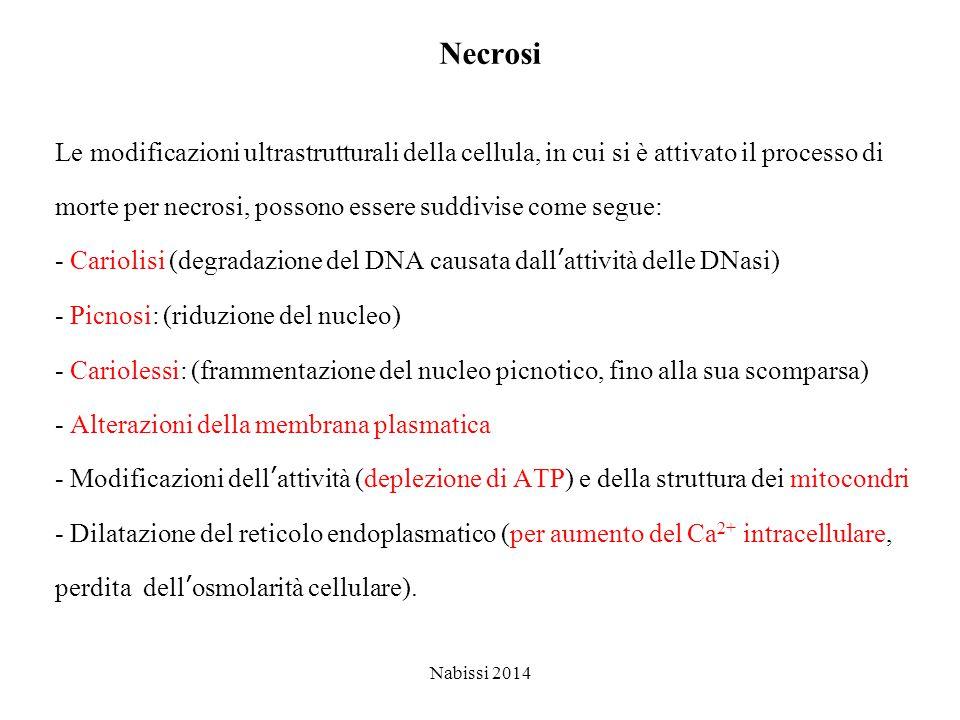 Necrosi Le modificazioni ultrastrutturali della cellula, in cui si è attivato il processo di morte per necrosi, possono essere suddivise come segue: - Cariolisi (degradazione del DNA causata dall'attività delle DNasi) - Picnosi: (riduzione del nucleo) - Cariolessi: (frammentazione del nucleo picnotico, fino alla sua scomparsa) - Alterazioni della membrana plasmatica - Modificazioni dell'attività (deplezione di ATP) e della struttura dei mitocondri - Dilatazione del reticolo endoplasmatico (per aumento del Ca 2+ intracellulare, perdita dell'osmolarità cellulare).