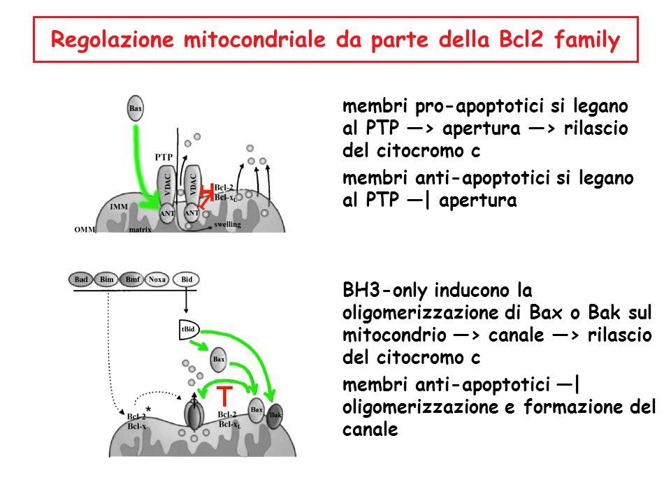 membri pro-apoptotici si legano al PTP —> apertura —> rilascio del citocromo c membri anti-apoptotici si legano al PTP —| apertura BH3-only inducono l